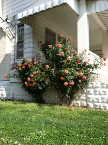 Roses on the side of house